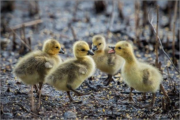 4 Goslings600