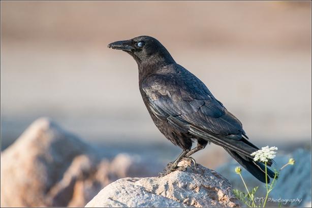 1 Crow600